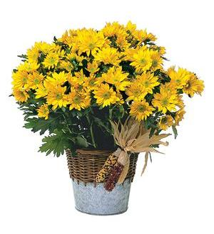 Harvest Yellow Daisy Plant - Deluxe