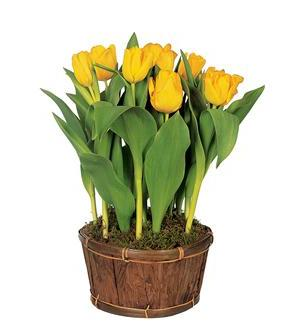 Potted Yellow Tulips - Deluxe